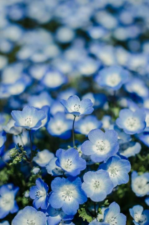 Photo of nemophilia flowers