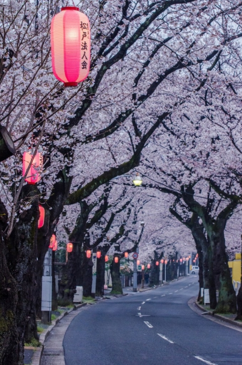 Photo of cherry blossom street in Japan