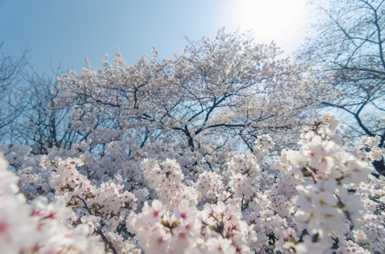 Beautiful Cherry Blossom tree in Japan