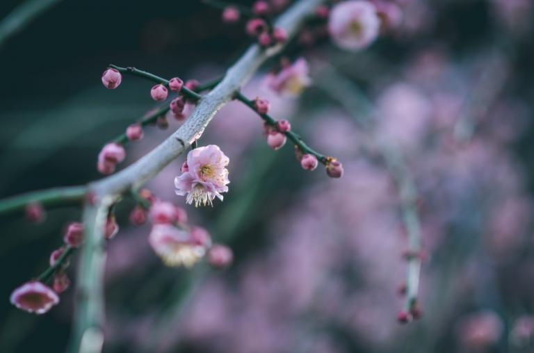 Photo of Japanese plum blossoms