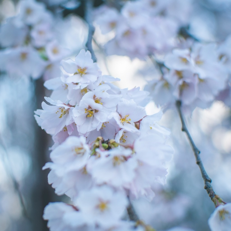 Photo of weeping cherry blossoms
