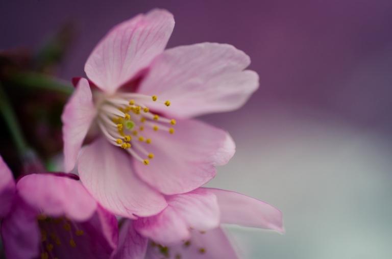 Photo of Kawazu Cherry Blossom