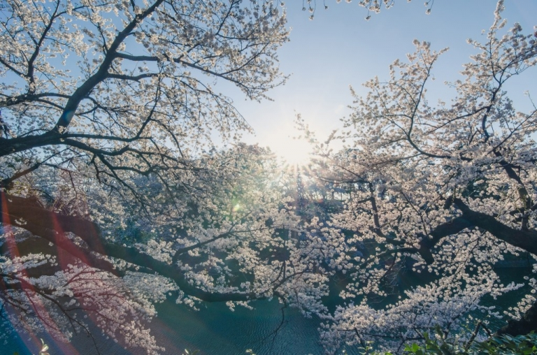 Photo of cherry blossoms in the morning