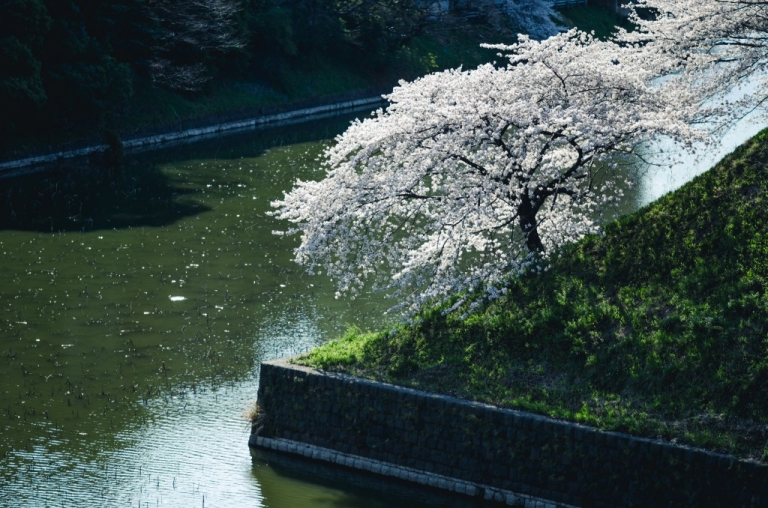 Photo of single cherry blossom tree