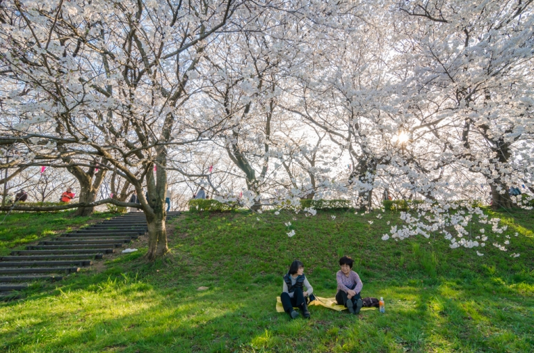 Ladies sitting beneath sakura