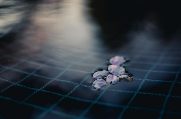 Photo of Cherry Blossom petals