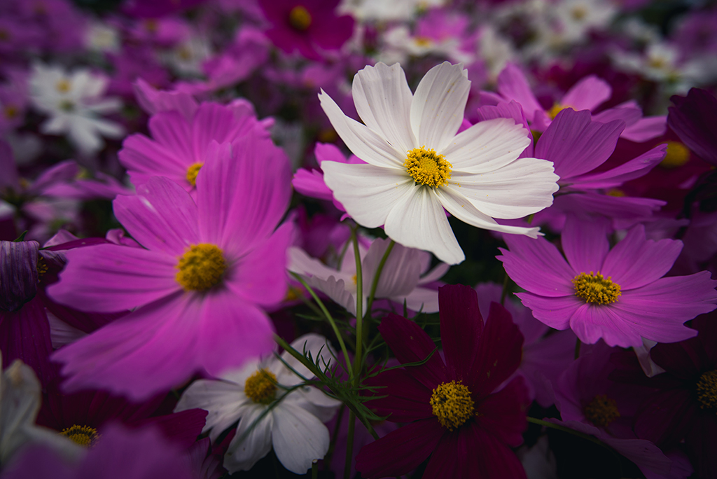 photo of cosmos flowers