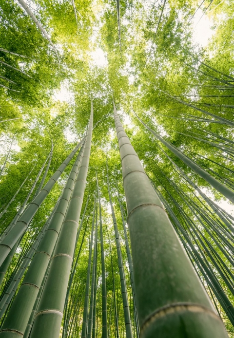 Photo of bamboo in Japan