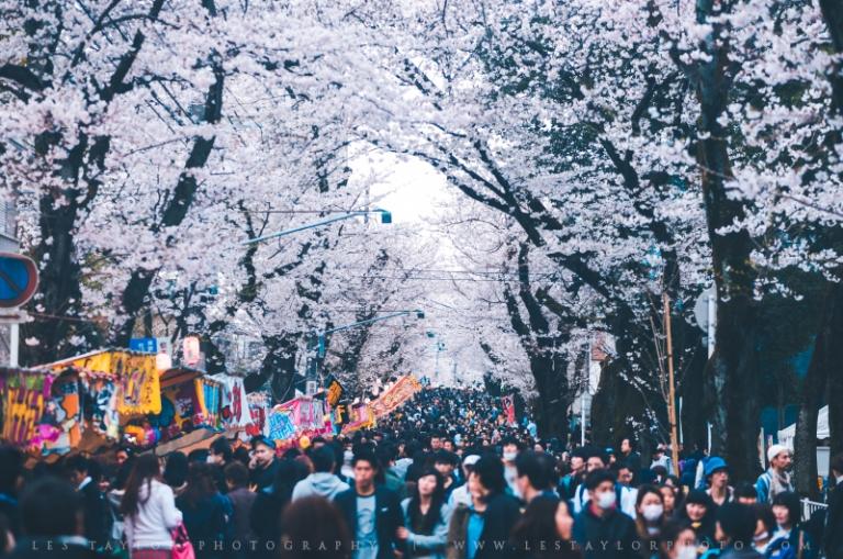 Cherry Blossom Festival In Japan