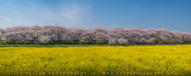 Cherry Blossoms and Rapeseed Flowers at Gongendo Park