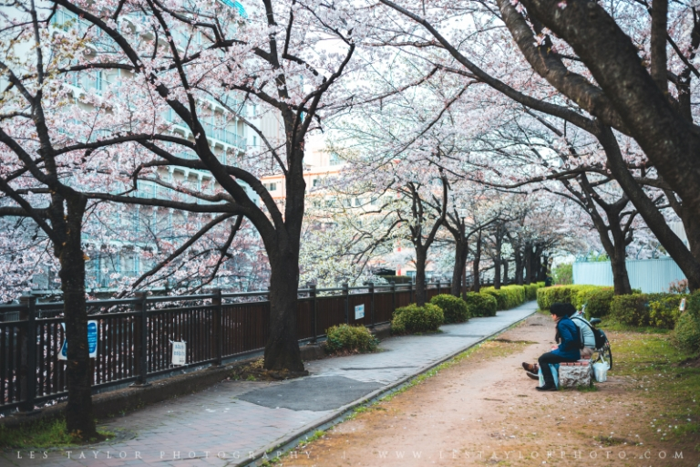 Cherry Blossoms City