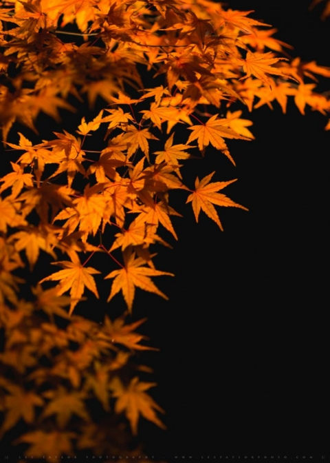 illuminated fall leaves